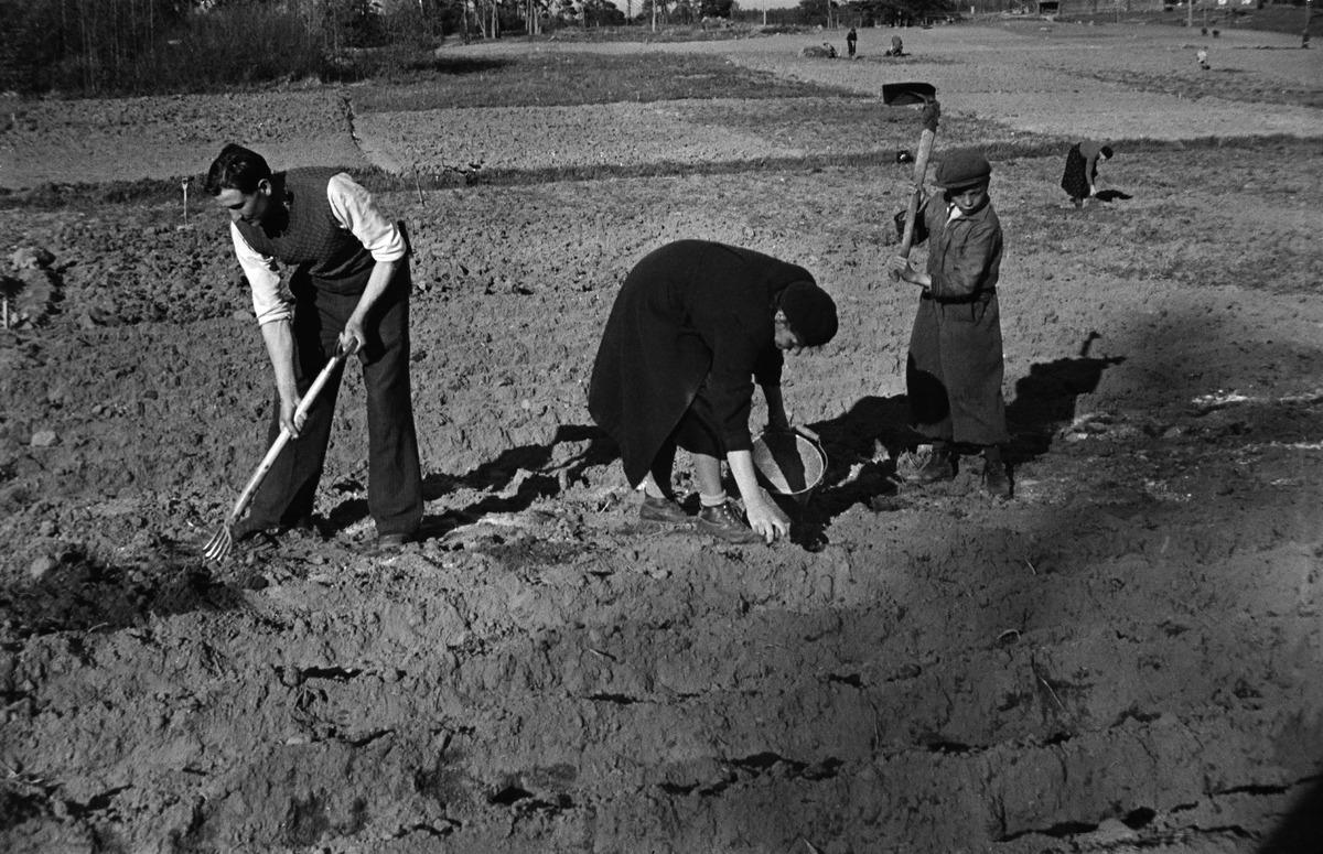 Perhe työskentelee perunapellolla, mahdollisesti Herttoniemessä.