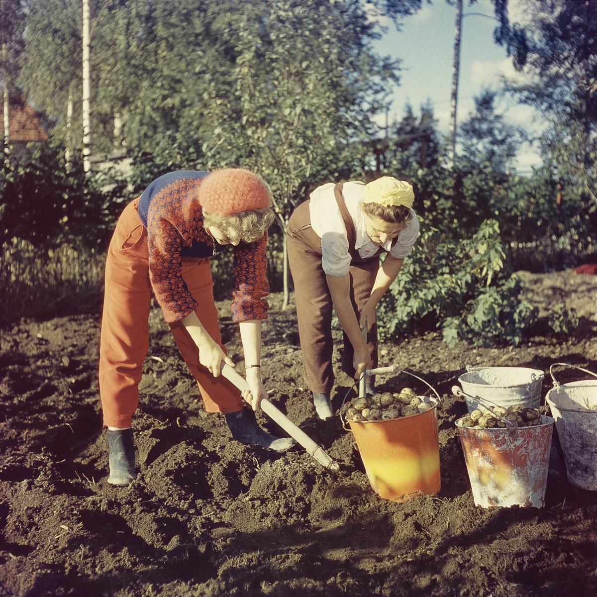 Nainen korjaa perunasatoa anoppinsa kanssa perunamaalla.