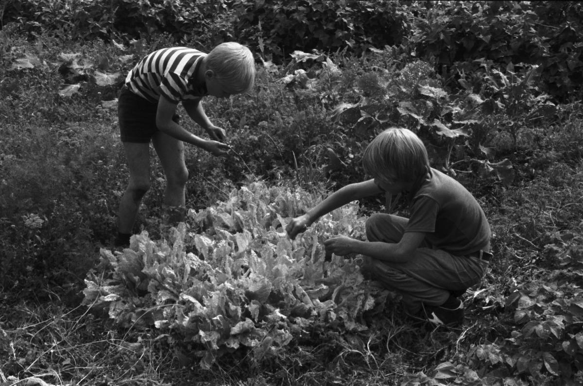 Vähänkyröntie 4. Kaksi poikaa (Aapo Rista ja Tuomas Heikkilä) kasvattamallaan salaattimaalla Kumpulan koulukasvitarhassa.