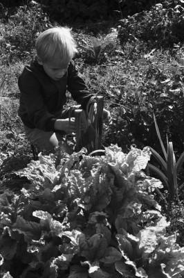 Vähänkyröntie 4. Poika (Aapo Rista) tarkastelemassa kylvämäänsä ja istuttamaansa satoa Kumpulan koulukasvitarhassa