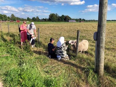 Lapset syöttävät lampaille heinää pellolla olevan verkkoaidan raoista Haltialan tilalla