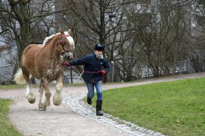 Ajuri juoksuttaa panimohevonen Ludwigia Sinebrychoffinpuistossa