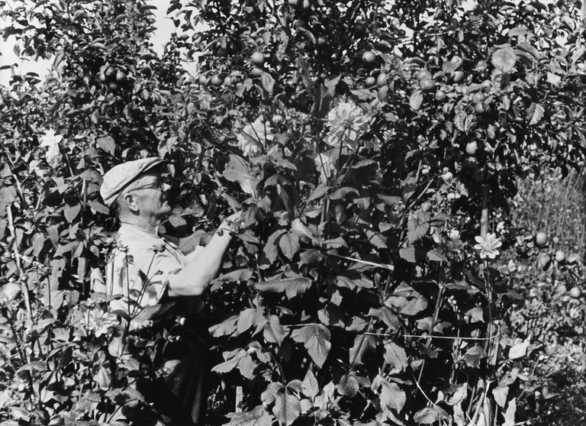 Vallilan siirtolapuutarha, mies puutarhatöissä.